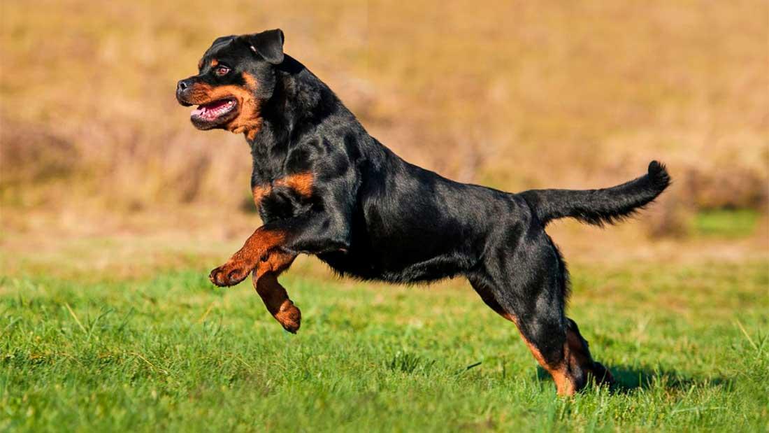 Корм для взрослых собак с высоким уровнем активности