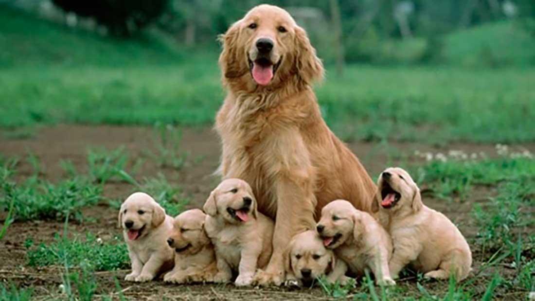 Корм для беременных и кормящих собак