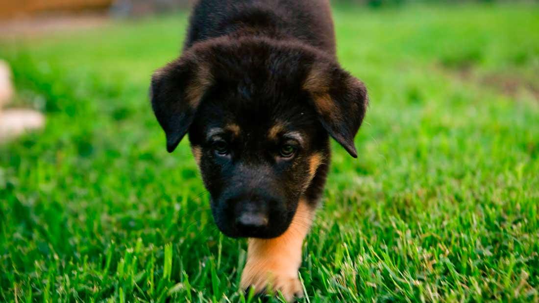 Корм для щенков крупных и средних пород