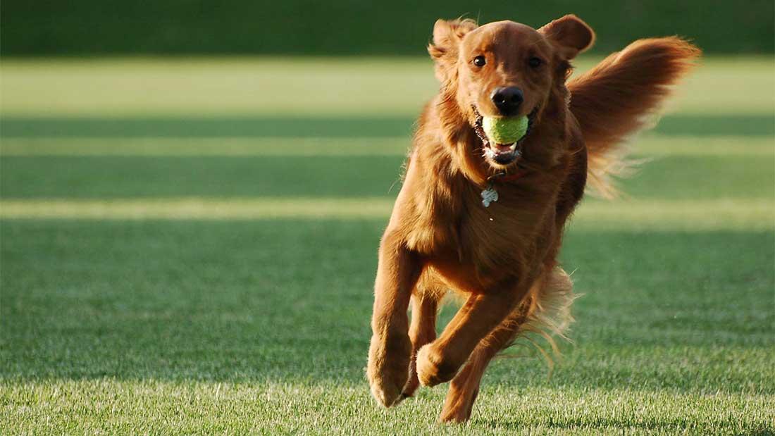 Корм для взрослых собак с повышенным уровнем активности
