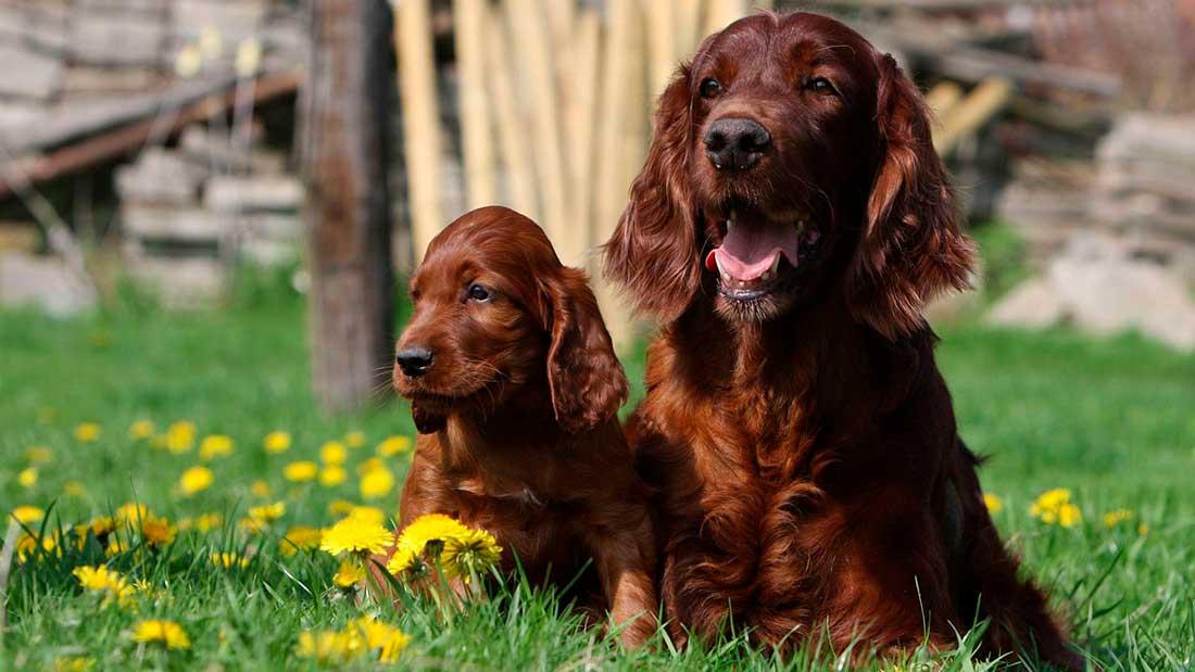 Корм для беременных и кормящих собак мелких пород
